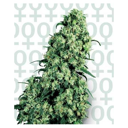 Skunk 1 Sensi Seeds Bank