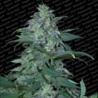 Magic Bud Paradise Seeds