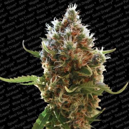 Lucid Bolt Paradise Seeds