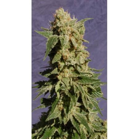 BCN Diesel Kannabia Seeds