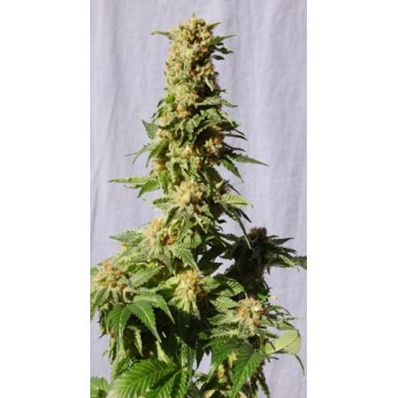 La Blanca Kannabia Seeds