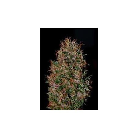 Tropical Seeds - Pura Terreta