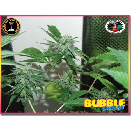 Bubble Cheese. Big Buddha Seeds. Semillas