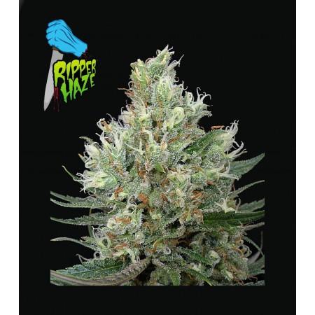 Riper Haze Ripper Seeds