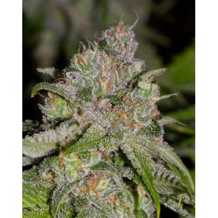 Sweet Tooth3. Alpine seeds