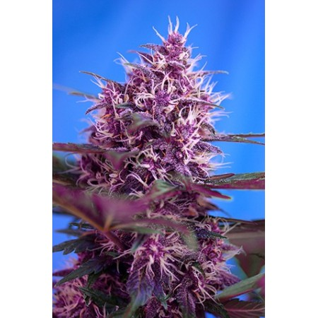 Red Poison Auto Sweet Seeds