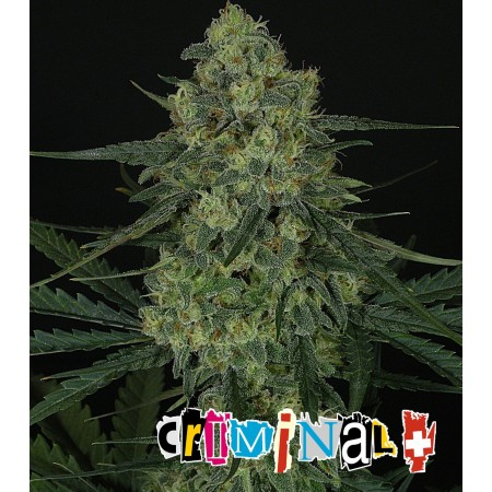 Criminal +.  Ripper Seeds