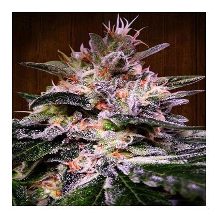 Bubba Kush x Hashplant Ace seeds