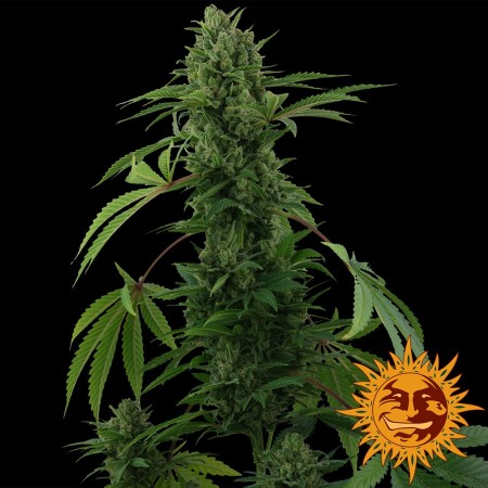 Pineapple Express Auto Barney´s Farm