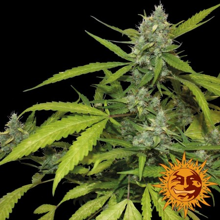 Sweet Tooth Auto Barney´s Farm