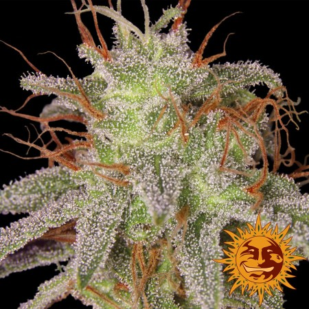Amnesia Lemon Barney´s Farm
