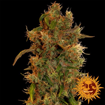 8 Ball Kush Barney´s Farm