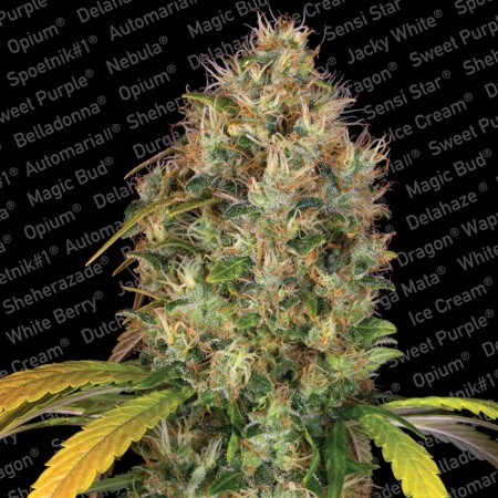 Dutch Kush Paradise Seeds