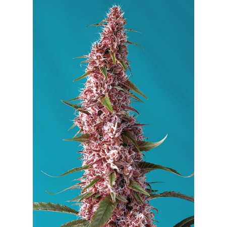 Red Pure Auto CBD Sweet Seeds