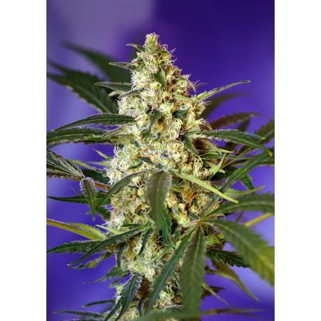 Fast Bud 2 Auto Sweet Seeds