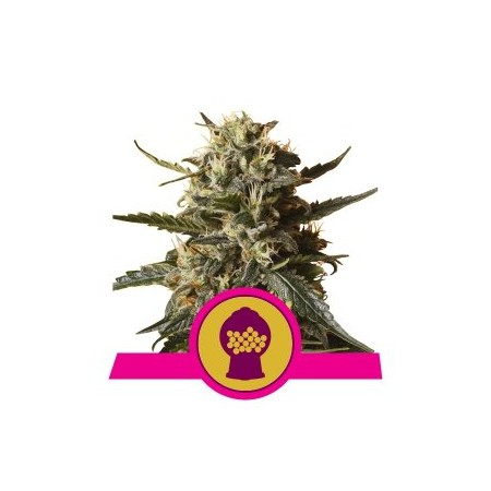 Bublegum XL Royal Queen Seeds