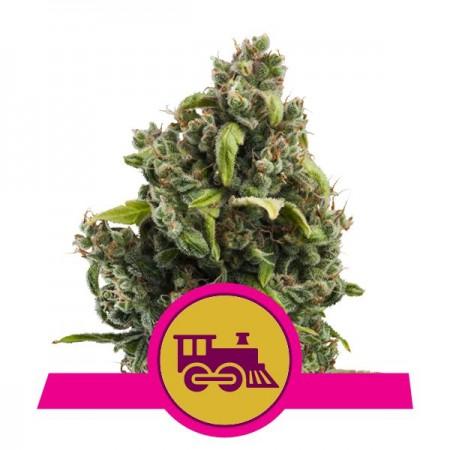 Candy Kush Express (Fast Flowering) RQS