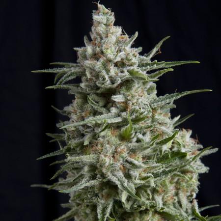 Anesthesia CBD Pyramid Seeds