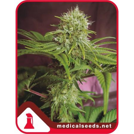 Elixir Vitae CBD Medical seeds
