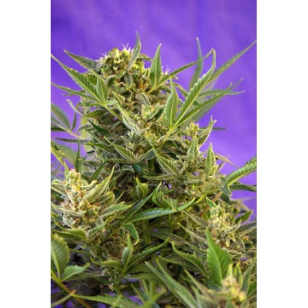 Double White  Sweet seeds